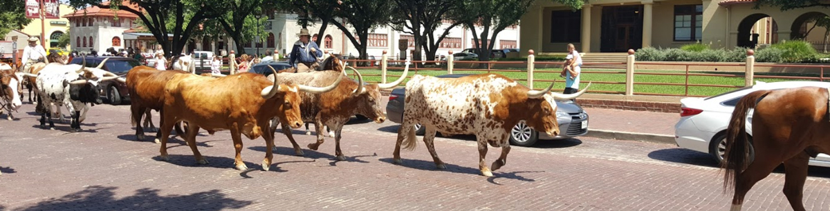 Longhorn Cattle Drive in Fort Worth Texas